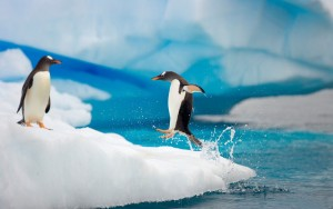 A Gentoo penguin in chile jumping feet first from the sea onto an iceberg