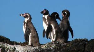 Four humbolt penguins in chile sitting on a rock in the sun