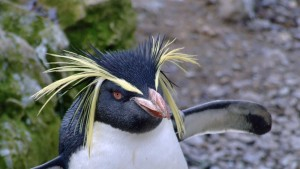 A facial shot of a rockhopper penguin in chile showing its yellow spikey hair